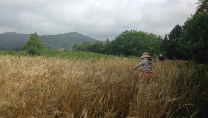 2016年8月 自然農法で育てた麦